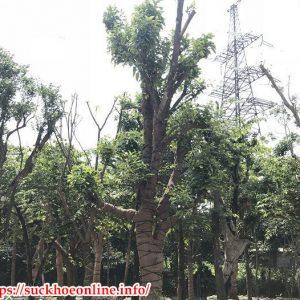Mua Cây Bóng Mát Tại Hà Nội